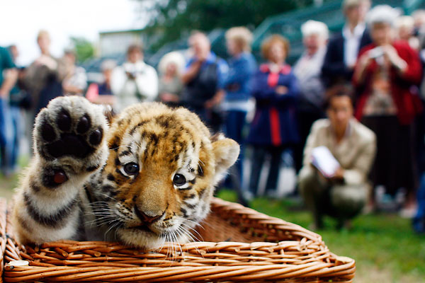 Antares, the Friendly Siberian Tiger Cub!
